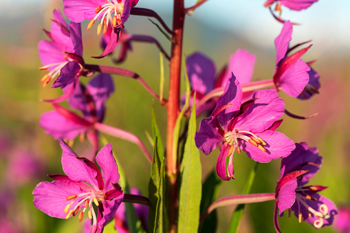 flower「Close up of Fireweed (Chamerion angustifolium), Tongass National Forest」:スマホ壁紙(10)