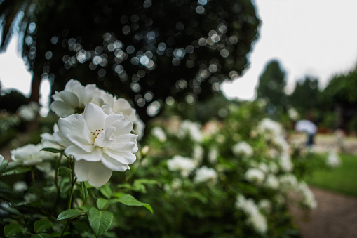 Rose - Flower「Close up of white roses with a blurry background, Johannesburg, Gauteng, South Africa」:スマホ壁紙(10)