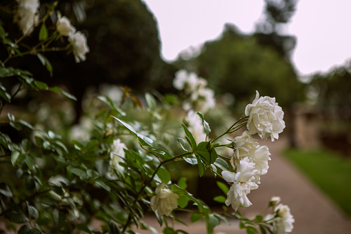 Rose - Flower「Close up of white roses with a blurry background, Johannesburg, Gauteng, South Africa」:スマホ壁紙(9)