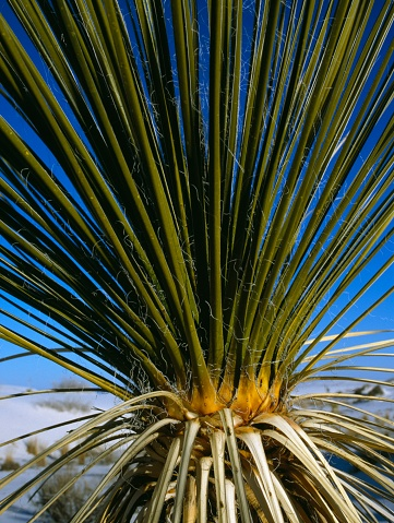 Frond「Close up of a yucca (Yucca) plant, White Sands National Monument, New Mexico, USA」:スマホ壁紙(0)