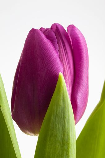 チューリップ「Close up of a single purple tulip with some green leaves; calgary alberta canada」:スマホ壁紙(5)
