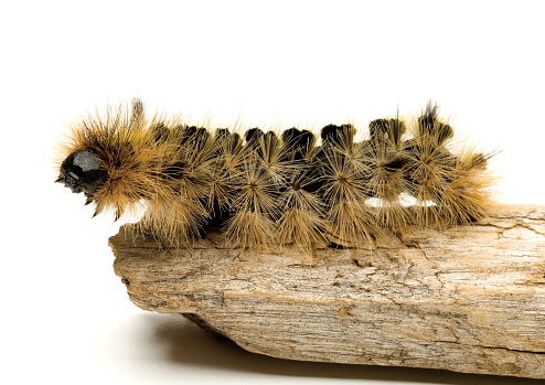 昆虫「Close up of Tussock Moth caterpillar.」:スマホ壁紙(7)