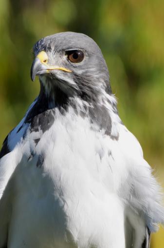 Hawk - Bird「Close up of augur buzzard, Buteo rufofuscus. Member of the hawk family.」:スマホ壁紙(3)