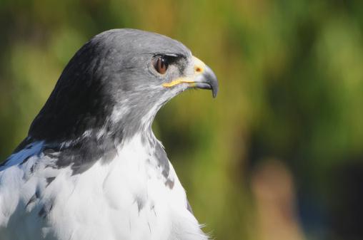 Hawk - Bird「Close up of augur buzzard, Buteo rufofuscus. Member of the hawk family.」:スマホ壁紙(4)