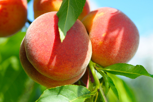 Peach「ピーチズ Ripening 太陽の下で」:スマホ壁紙(17)