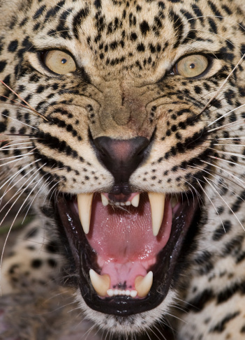 Animal Whisker「Close up of leopard growling」:スマホ壁紙(2)