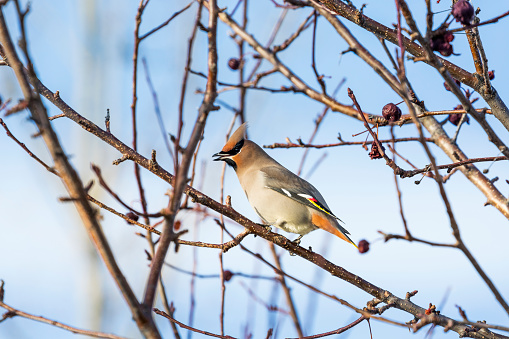Cedar Waxwing「Close up of a Cedar Waxwing (Bombycilla cedrorum) bird on a bare branch of a crab apple tree with blue sky in the background」:スマホ壁紙(14)