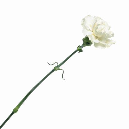 カーネーション「Close up of a carnation」:スマホ壁紙(19)