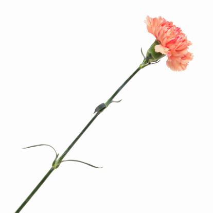 カーネーション「Close up of a carnation」:スマホ壁紙(10)