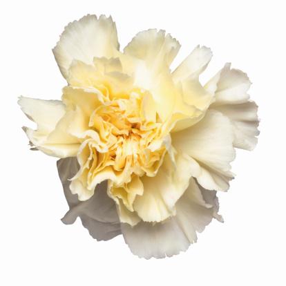 カーネーション「Close up of a carnation」:スマホ壁紙(4)