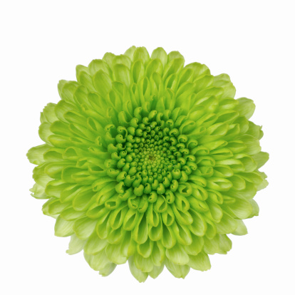 Chrysanthemum「Close up of chrysanthemum」:スマホ壁紙(18)