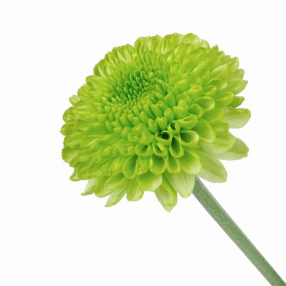 キク科「Close up of chrysanthemum」:スマホ壁紙(7)