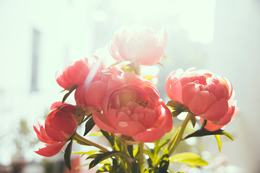 Back Lit「Close up of peonies」:スマホ壁紙(4)