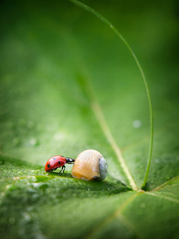 snails「Close up of ladybug and snail on leaf」:スマホ壁紙(2)