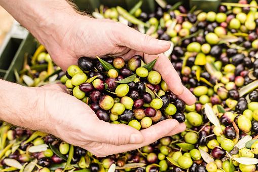 Human Hand「Close up of farmer holding harvested olives」:スマホ壁紙(18)