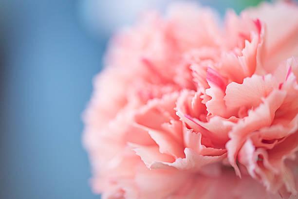 Close up of a pink carnation flower:スマホ壁紙(壁紙.com)