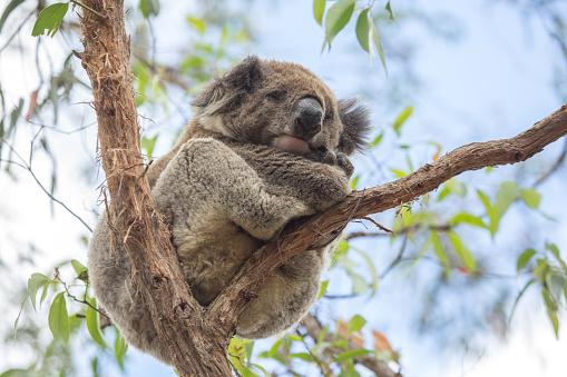 コアラ「クローズアップのコアラベッドでオーストラリアでユーカリの木」:スマホ壁紙(4)