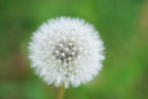 たんぽぽ「Close up of dandelion seed head」:スマホ壁紙(1)