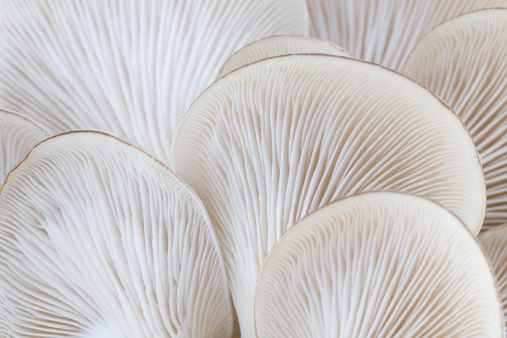 Botany「Close up of white colored Oyster mushroom」:スマホ壁紙(2)