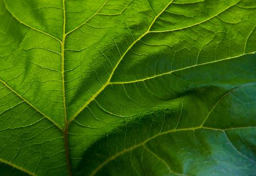 Leaf Vein「Close up of veins in green leaf」:スマホ壁紙(10)