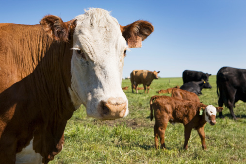 カメラ目線「Close Up Of Cow With Calf In The Background In A Field Of Cattle With Blue Sky West Of Calgary」:スマホ壁紙(9)