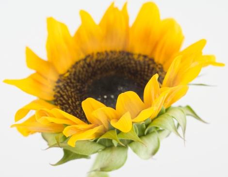 ひまわり「Close up of sunflower」:スマホ壁紙(3)