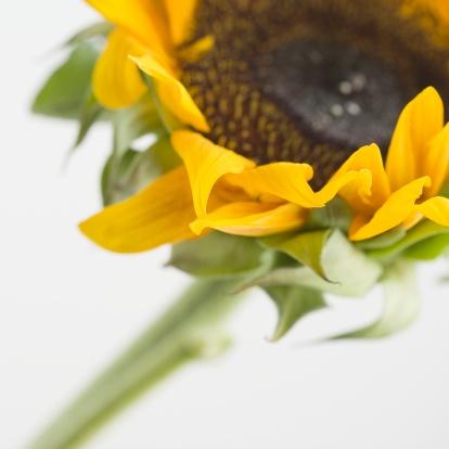 ひまわり「Close up of sunflower」:スマホ壁紙(4)