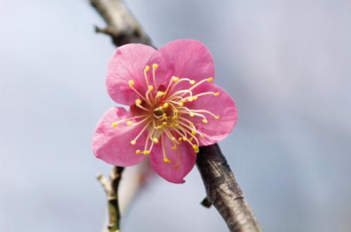 梅の花「Close up of a pink plum blossom」:スマホ壁紙(9)
