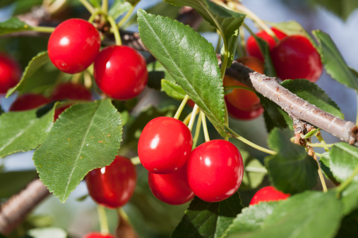 サクランボ「Close Up Of Ripe Cherries On Branch Of A Tree」:スマホ壁紙(17)