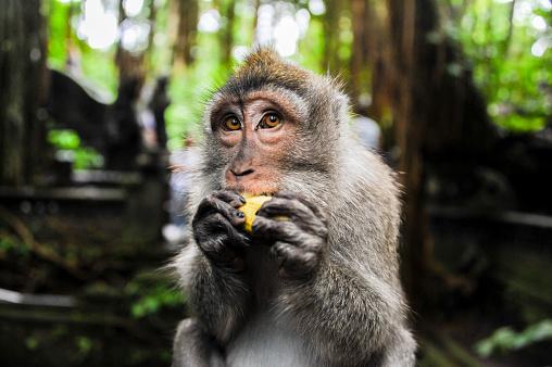 Ubud District「Close up of monkey eating fruit in jungle」:スマホ壁紙(12)
