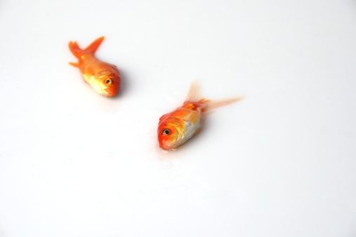 ガラス「Close up of two dead goldfish」:スマホ壁紙(0)