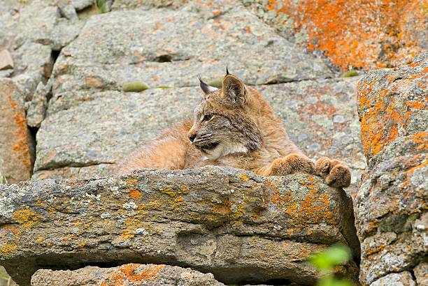 Young Canadian Lynx on Rock Ledge:スマホ壁紙(壁紙.com)