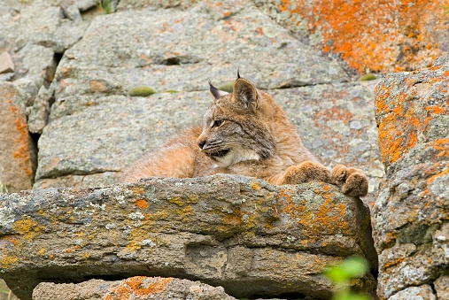 Kitten「Young Canadian Lynx on Rock Ledge」:スマホ壁紙(6)