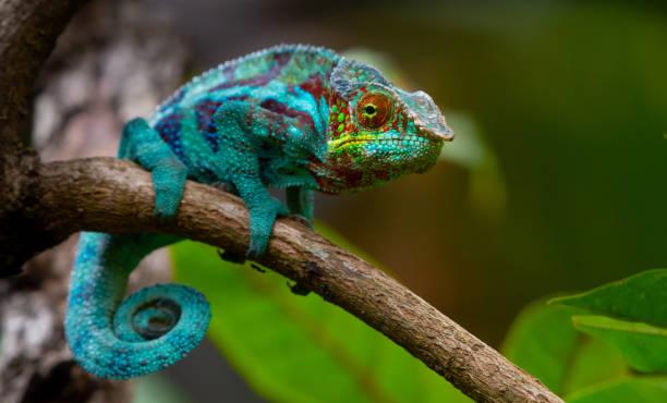 Chameleon:スマホ壁紙(壁紙.com)