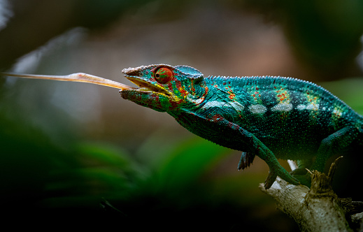 Endangered Species「Chameleon」:スマホ壁紙(19)