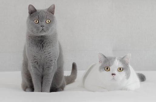 British Shorthair Cat「British Blue cat and British Shorthair cat sitting side by side」:スマホ壁紙(11)