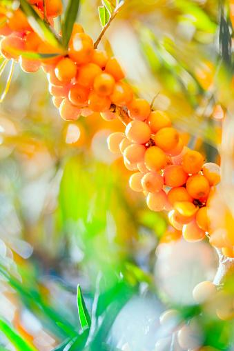 Frond「Argousier, berries.」:スマホ壁紙(3)