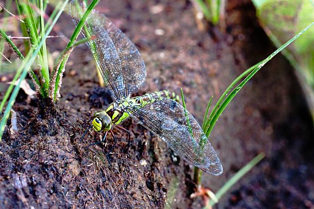 Southern Hawker Dragonfly (Aeshna cyanea):スマホ壁紙(壁紙.com)