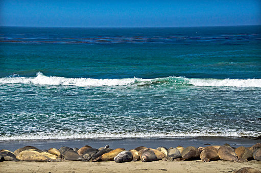 Pacific Ocean「Elephant seals in San Simeon」:スマホ壁紙(18)