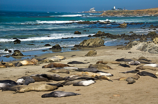 Pacific Ocean「Elephant seals in San Simeon」:スマホ壁紙(17)