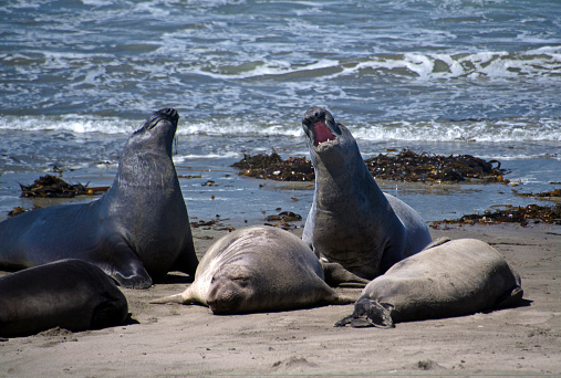 Sea Lion「Elephant seals in San Simeon」:スマホ壁紙(1)