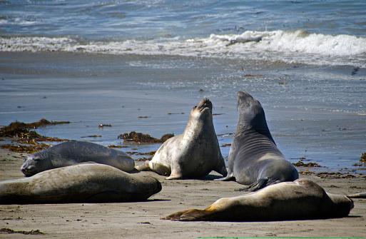 Sea Lion「Elephant seals in San Simeon」:スマホ壁紙(2)