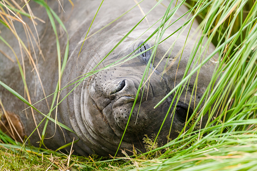 Falkland Islands「Elephant seal (Mirounga leonina ). Falkland Islands, South Atlantic」:スマホ壁紙(10)