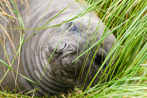 Falkland Islands「Elephant seal (Mirounga leonina ). Falkland Islands, South Atlantic」:スマホ壁紙(11)