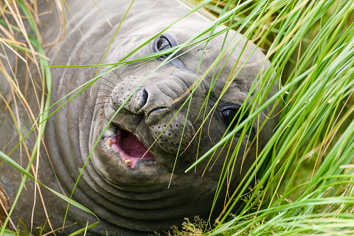 Falkland Islands「Elephant seal (Mirounga leonina ). Falkland Islands, South Atlantic」:スマホ壁紙(9)