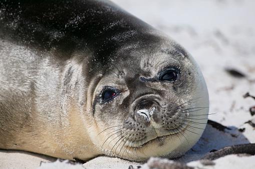 Falkland Islands「Elephant seal (Mirounga leonina)」:スマホ壁紙(16)