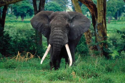 Elephant「Elephant, Serengeti NP, Tanzania」:スマホ壁紙(9)