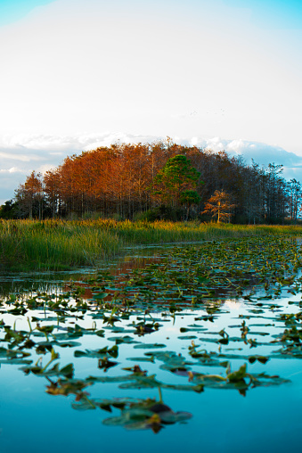 Water Lily「Florida MARSHLAND on Lake Okeechobee, a tributary and part of Florida water filtration.」:スマホ壁紙(11)