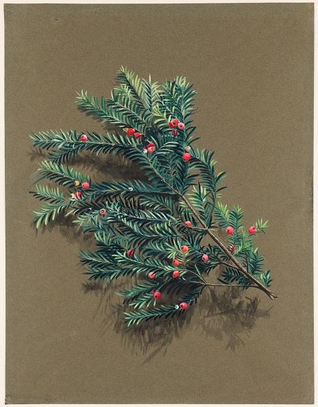 静物「Taxus Baccata L. (Yew)」:写真・画像(8)[壁紙.com]