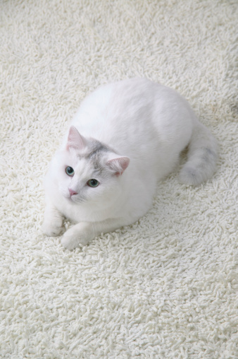 Mixed-Breed Cat「White cat looking up」:スマホ壁紙(17)